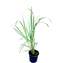 Aha Lemon Grass Live Natural Plant (Pot Included) Health