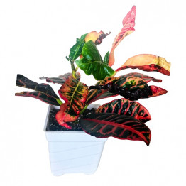 Aha Croton Sapling Gold Dust Variegated Plant with Pot Indoor
