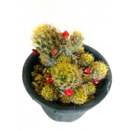 Aha Mammillaria Prolifera cactus Outdoor Plant With Pot